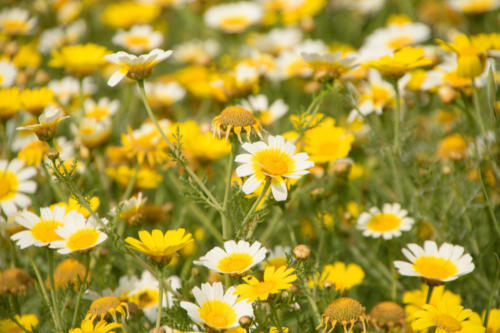 Wiesenblumen_0430